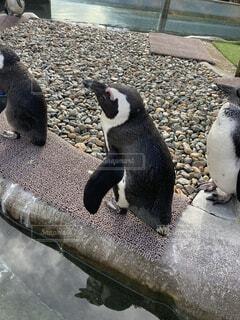 ペンギンの群れの写真・画像素材[3980453]
