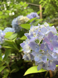 紫陽花の写真・画像素材[2564116]