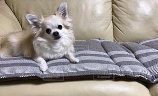 ソファに横たわる小さな可愛い白い犬の写真・画像素材[2550915]