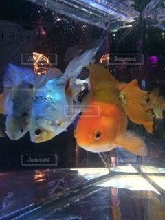 金魚の写真・画像素材[102273]