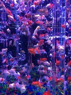 金魚の写真・画像素材[102285]