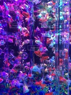 金魚 - No.102295