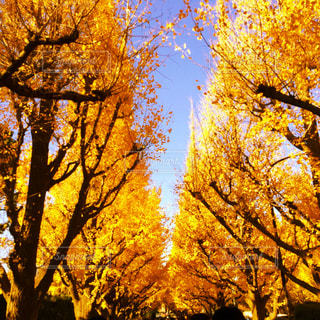 神宮外苑いちょう並木の写真・画像素材[2552910]