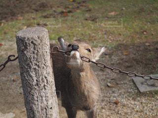 歯痒い小鹿の写真・画像素材[2889347]