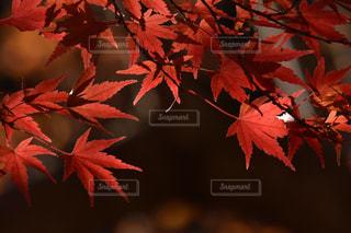 紅葉の写真・画像素材[2741021]