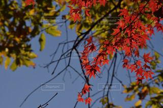 紅葉と青空の写真・画像素材[2741024]