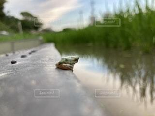 田んぼを見つめるカエルの写真・画像素材[4635903]