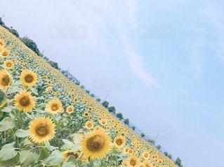 ひまわり畑の写真・画像素材[2555755]