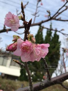 令和2年 今年初の桜咲いてますの写真・画像素材[2922832]