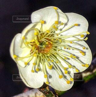 梅の花の写真・画像素材[4050928]