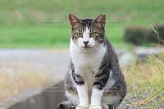遠くを見つめる猫の写真・画像素材[2558166]