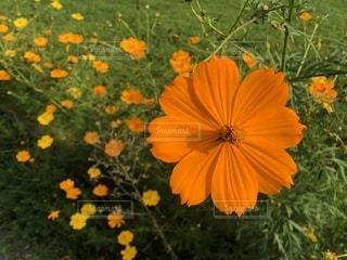 オレンジと黄色のキバナコスモスがある秋の風景の写真・画像素材[2569568]