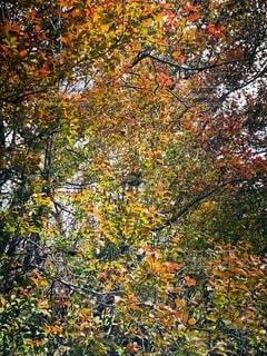 秋の鮮やかな紅葉の風景の写真・画像素材[2576435]