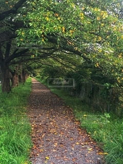 樹木が立ち並ぶ緑のトンネルと地面に落ち葉が広がる一本道の風景の写真・画像素材[2669204]