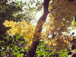 黄色い紅葉の葉と緑色の葉がある秋の風景の写真・画像素材[2737111]