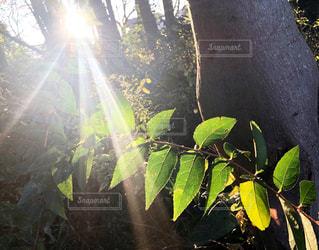 木の幹と日暮れの夏の輝く太陽に照らされた緑の葉っぱがある森の中の風景の写真・画像素材[2829200]