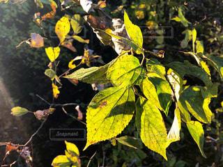 日の光に照らされた葉っぱの風景の写真・画像素材[2853057]