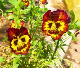 赤と黄色のビオラの花が二輪咲いている風景の写真・画像素材[3578061]
