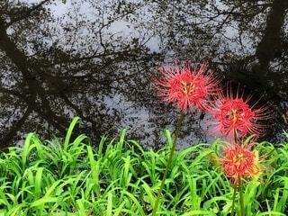水面に映る樹木の影絵と川辺に咲いた彼岸花がある風景の写真・画像素材[3736533]