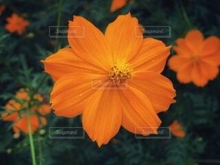 オレンジ色のキバナコスモスが咲いている風景の写真・画像素材[3747927]