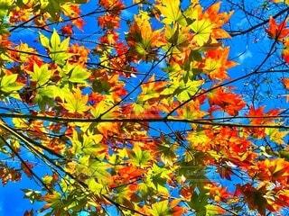 快晴の青空と緑の葉がオレンジ色に色付き始めた秋の紅葉の風景の写真・画像素材[3916652]