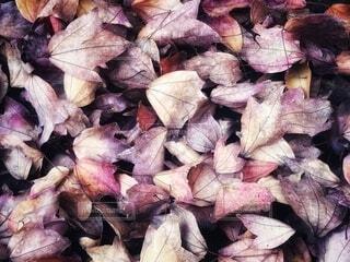 淡い色合いの落ち葉が一面に広がった秋の紅葉風景の写真・画像素材[3949032]