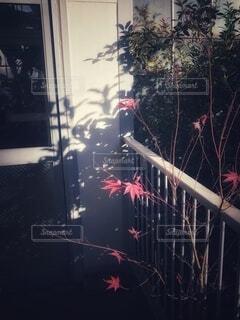 ベランダの柵越しに伸びたもみじの枝と赤い葉っぱの影が壁に映ったベランダの風景の写真・画像素材[3949029]