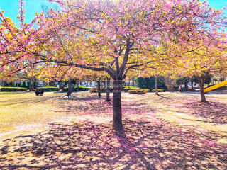 公園に生い茂る葉桜の樹木と桜の花びらが地面に広がる春の風景の写真・画像素材[4247820]