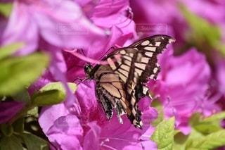 蜜を吸う蝶の写真・画像素材[2560566]