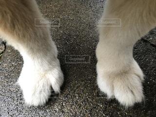 我が家の老犬短足 太くて足先ふっくら可愛いの写真・画像素材[3317106]