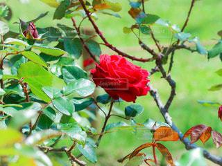 一輪の真っ赤な薔薇の写真・画像素材[3149188]
