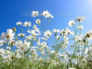 白いコスモスと真っ青な空の写真・画像素材[3825177]
