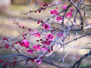 開花し始めた紅梅の写真・画像素材[4104520]
