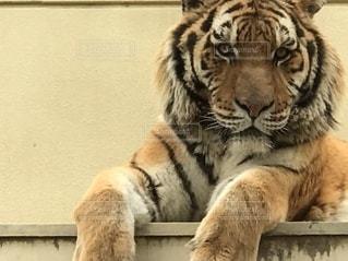 眺める虎の写真・画像素材[2609368]