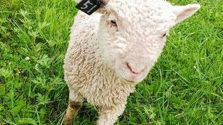 子羊のアップの写真・画像素材[2627322]