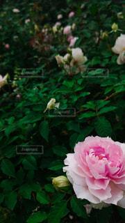 ピンクのバラのクローズアップの写真・画像素材[4920624]