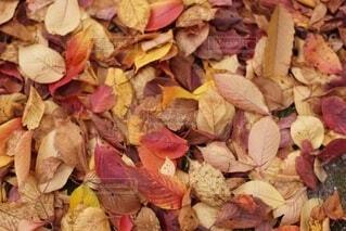 秋の落ち葉の写真・画像素材[3674924]