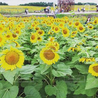 ひまわり畑の写真・画像素材[2576790]