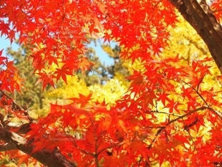 紅葉と空の写真・画像素材[2585478]