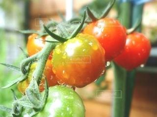 朝獲れトマトの写真・画像素材[2585587]