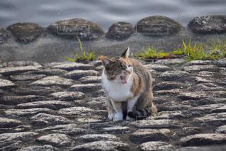あくびする猫📸📸の写真・画像素材[2762767]