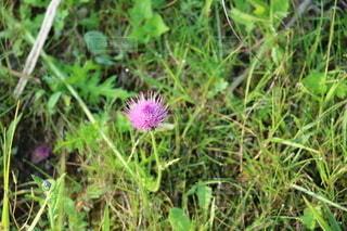 アザミの花の写真・画像素材[2657541]