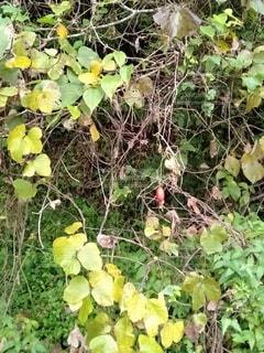 田舎カラスウリの写真・画像素材[2661710]