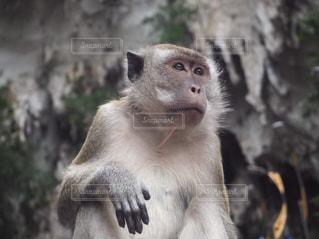 真剣な猿の写真・画像素材[2592061]