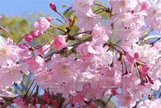 晴天に桜の写真・画像素材[3068487]
