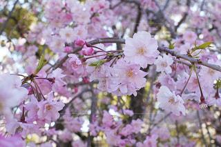 桜のクローズアップの写真・画像素材[3068493]