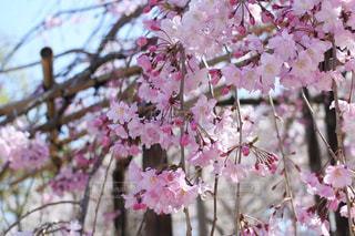 枝垂れ桜の写真・画像素材[3068495]