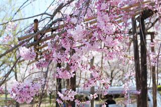 枝垂れ桜の写真・画像素材[3068494]
