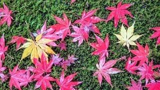 たくさんの紅葉の写真・画像素材[2699046]