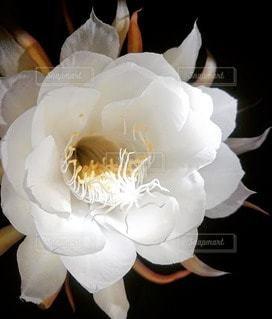 夜に咲く花の写真・画像素材[2704576]